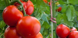 Vyrashhivanie Tomatov 324x160