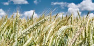 Wheat 3162803 1280 324x160