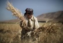 Wheat Marco Longari 218x150