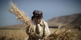 Wheat Marco Longari 324x160