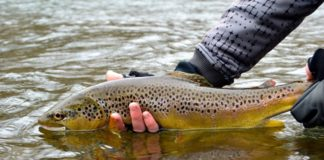 About The Trout The Mountain Rivers Of Bucovina Will Be Refreshed By Young Trout And Salmon