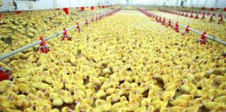 Duck Tale Duck Meat Production Decreased 2 6 Times