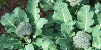 Broccoli 6 324x160