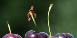 Cherries 167807 1280 324x160