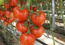 Pomidory V Tepl 218x150