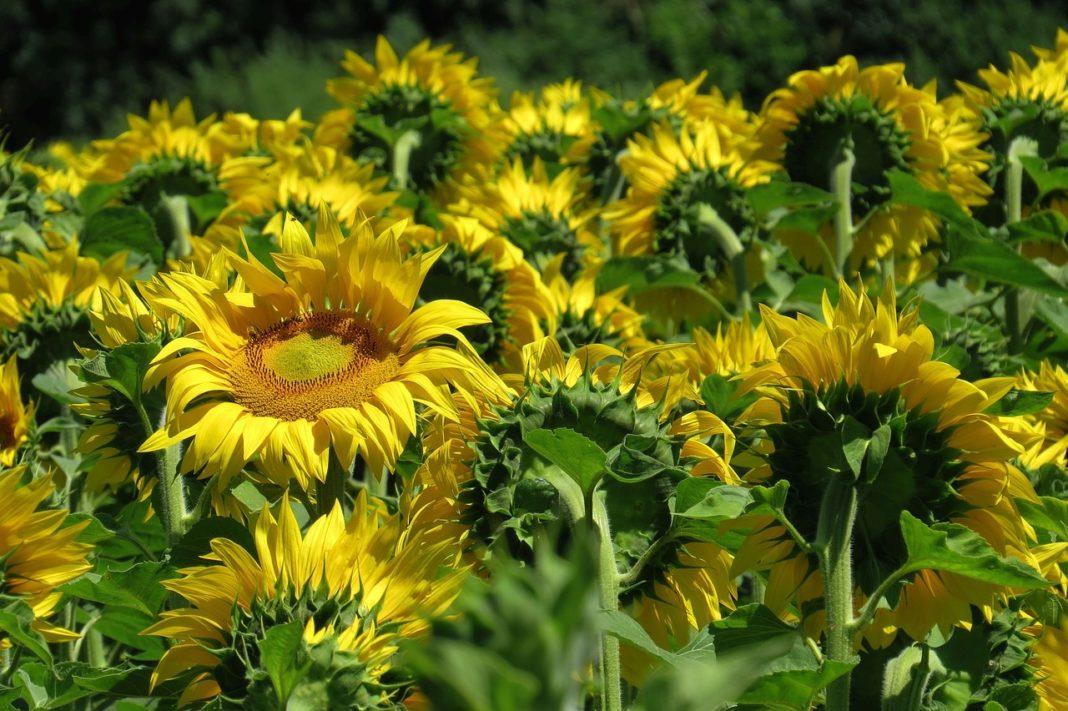 Sunflower 3512656 1280 1068x711