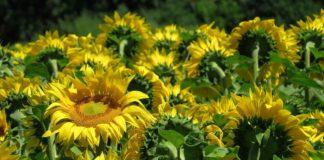 Sunflower 3512656 1280 324x160
