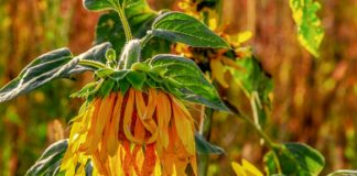Sunflower 3665410 1280 324x160