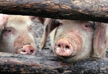 Swine Peaks The Decline In The Live Pig Market Has Stopped
