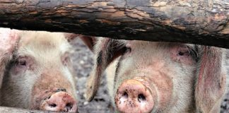 Plague And Orruption How To Save Pig Farming As An Industry