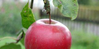Big Red Apple 324x160