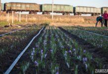 Krokos Po Us The Greeks Return To The Village To Grow Saffron There