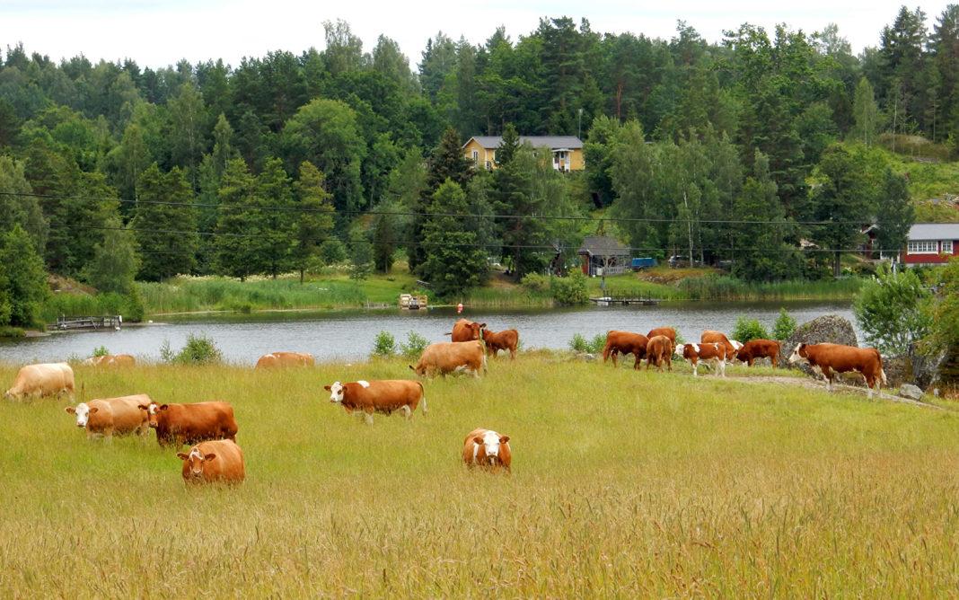 Sweden Grasslands Cow Forests Rivers Katrineholm 527994 1920x1200 1068x668