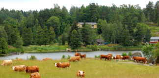 Sweden Grasslands Cow Forests Rivers Katrineholm 527994 1920x1200 324x160