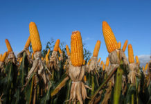 Brazilian Agribusiness Corn 1024x685 218x150