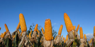 Brazilian Agribusiness Corn 1024x685 324x160