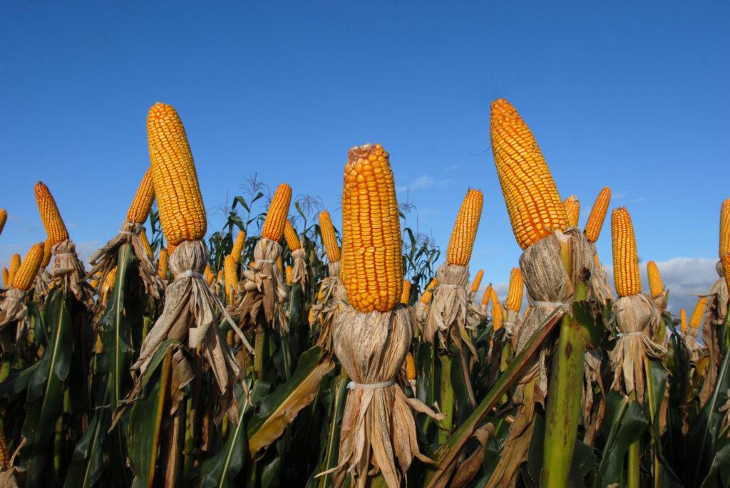 Brazilian Agribusiness Corn 1024x685