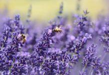 Lavender 1537694 1280 218x150