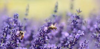 Lavender 1537694 1280 324x160