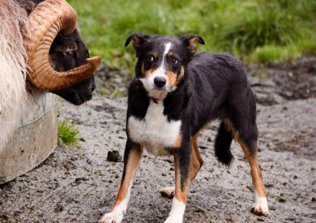 Bow Wow Scientists And Breeders Will Improve The Ability And Efficiency Of Farm Dogs