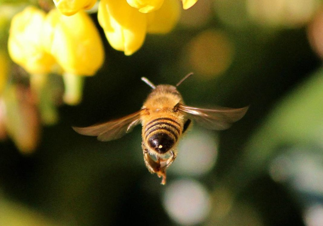 Golden Dust Bees Bring Farmers 30 Times More Money With Pollination Than With Honey