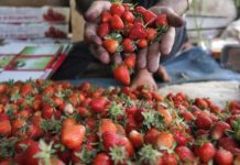 Strawberry Dreams Ukraine Will Gather 30 More Berries But They Will Not Be Cheap