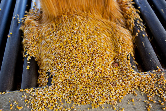 Corn in Egypt: low prices and unprecedented harvest