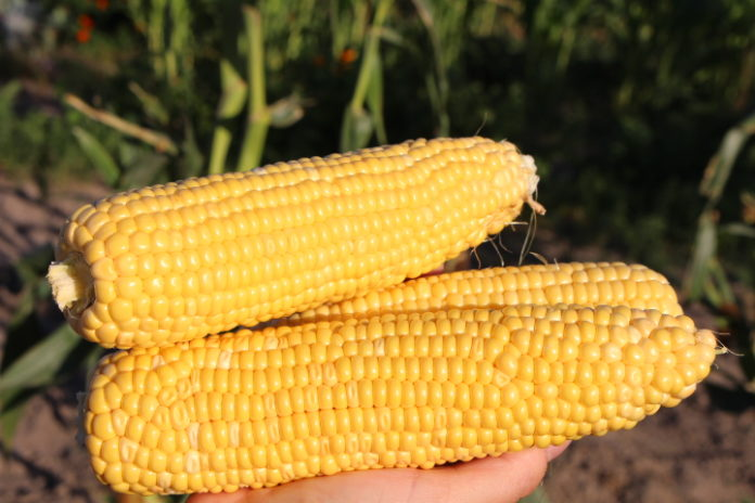 Pumped Cob One Hectare Of Sweet Corn Can Give 100 Thousand Uah Of Profit