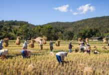 Rice Farmers Mae Wang Chiang Mai Province 218x150