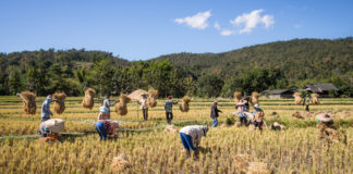 Rice Farmers Mae Wang Chiang Mai Province 324x160