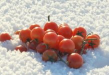 A Handful Of Small Bright Red Tomatoes Lying On Blue And White Fluffy Needle Like Snow On A Sunny Winter Day Sdhrnfke F0000 218x150
