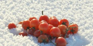A Handful Of Small Bright Red Tomatoes Lying On Blue And White Fluffy Needle Like Snow On A Sunny Winter Day Sdhrnfke F0000 324x160