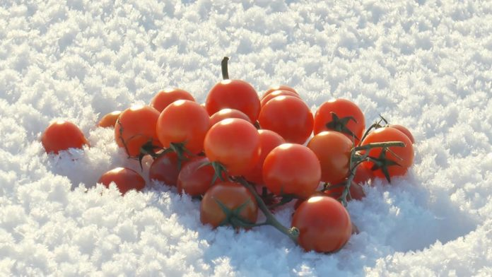 A Handful Of Small Bright Red Tomatoes Lying On Blue And White Fluffy Needle Like Snow On A Sunny Winter Day Sdhrnfke F0000 696x392