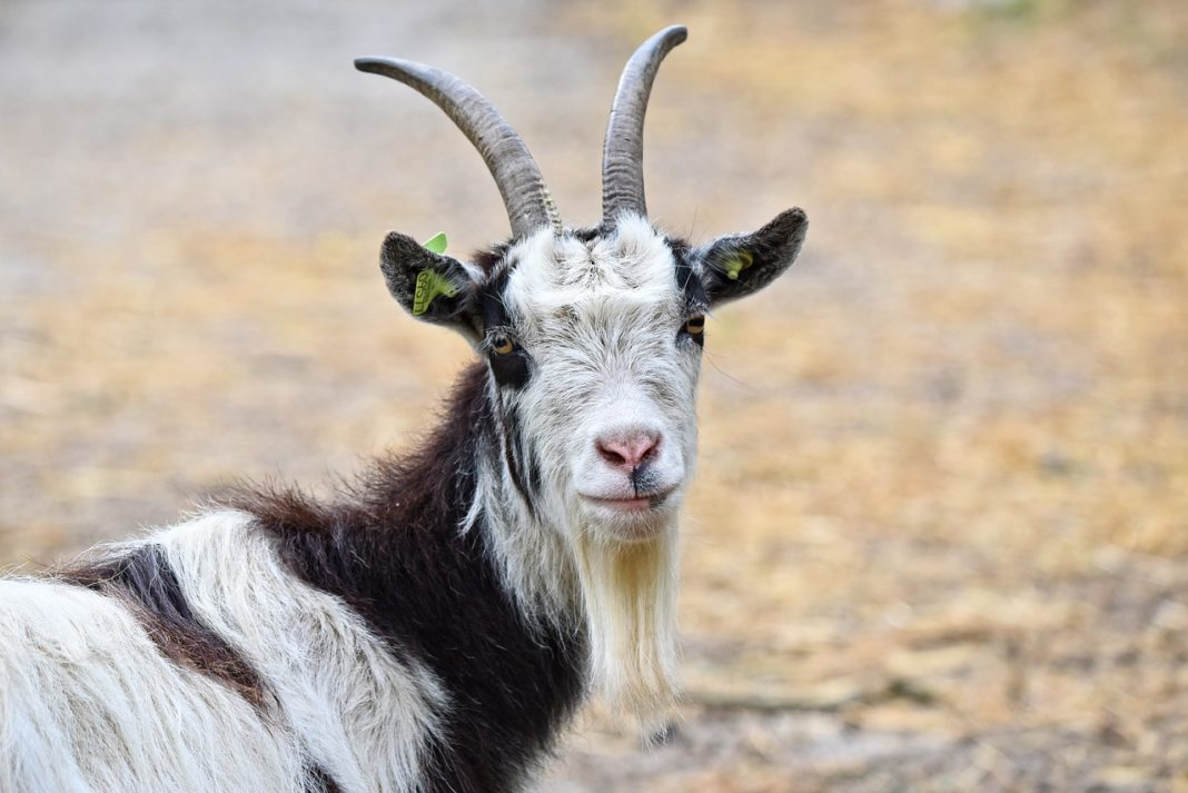 Goat 3412678 1280 1068x713