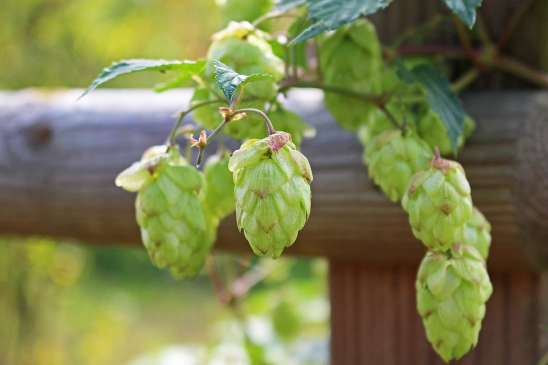 Hop Hey Hop Ukrainian Brewers Overpay 5 Times For High Quality Imported Hops