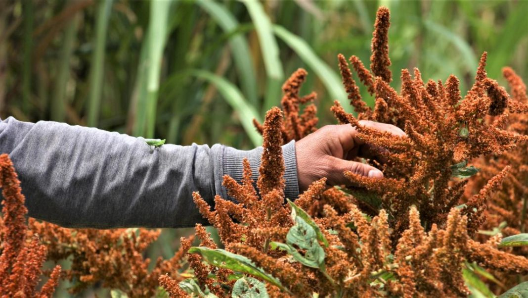 Grant For Amaranth Processing Amaranth Will Pay Off In 2 5 Years