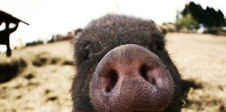 Pig 546307 1280 324x160