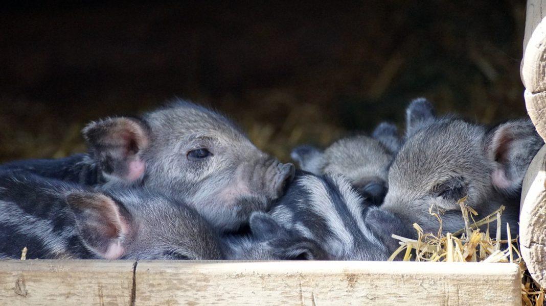 Europigs Eu Piglets Cost Pig Producers Twice As Cheap As Ukrainian Ones