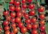 Pomidory Cherri Vyrashhivanie 100x70
