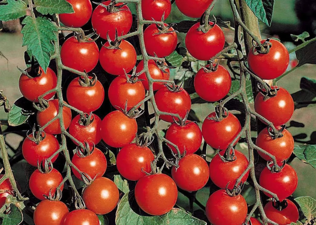 Cherry Brands Cherry Tomato Is The Jewish Discovery And Top 5 Innovations For Tomatoes