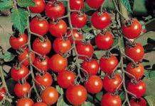 Pomidory Cherri Vyrashhivanie 218x150