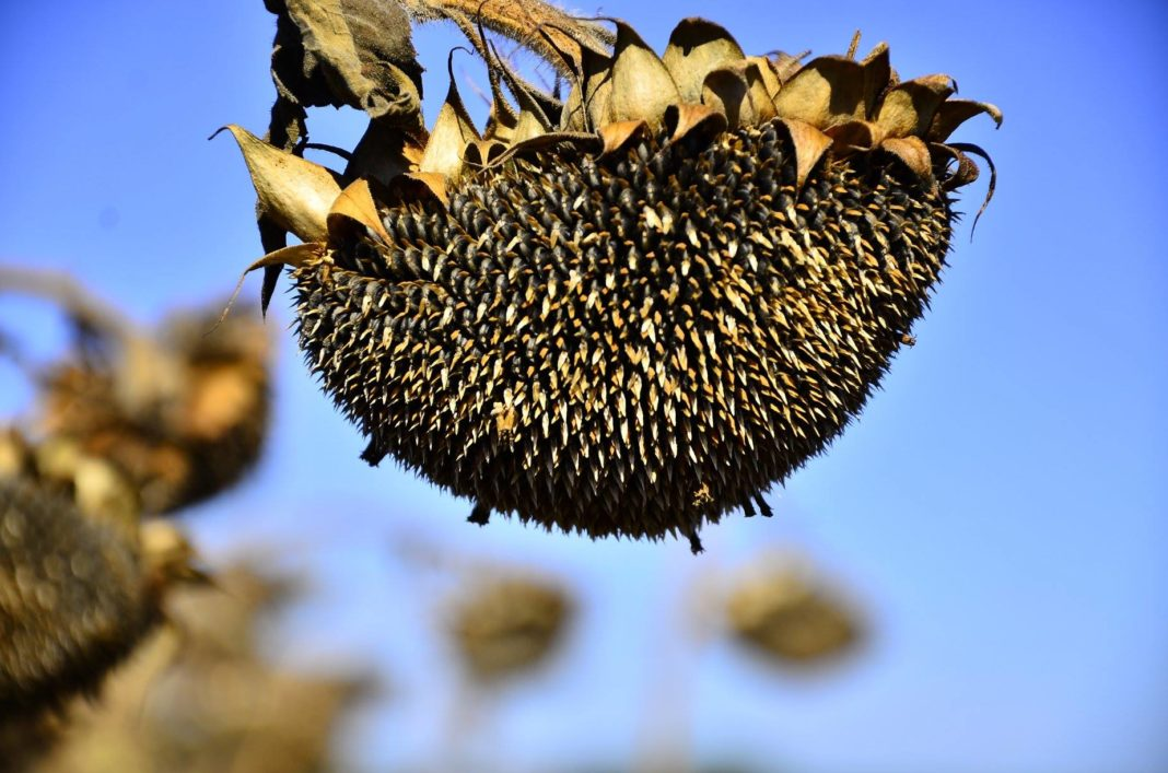 Crop Conrotation Growing Sunflower For 5 Years In One Field Reduces Yield By 27