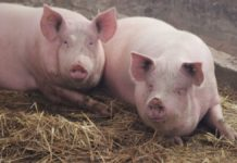 Unsuccessful Experiment Ukrainian Scientists Lost All Of Their Pigs Because Of Asf