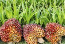 Palm Oil 218x150