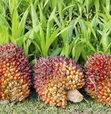 Palm Oil 356x364