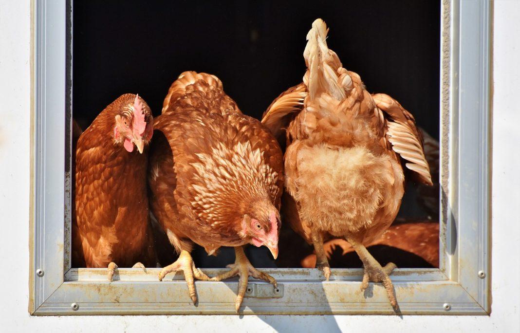 Chicken 3662513 1280 1068x684