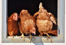 Chicken 3662513 1280 218x150