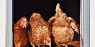 Chicken 3662513 1280 324x160