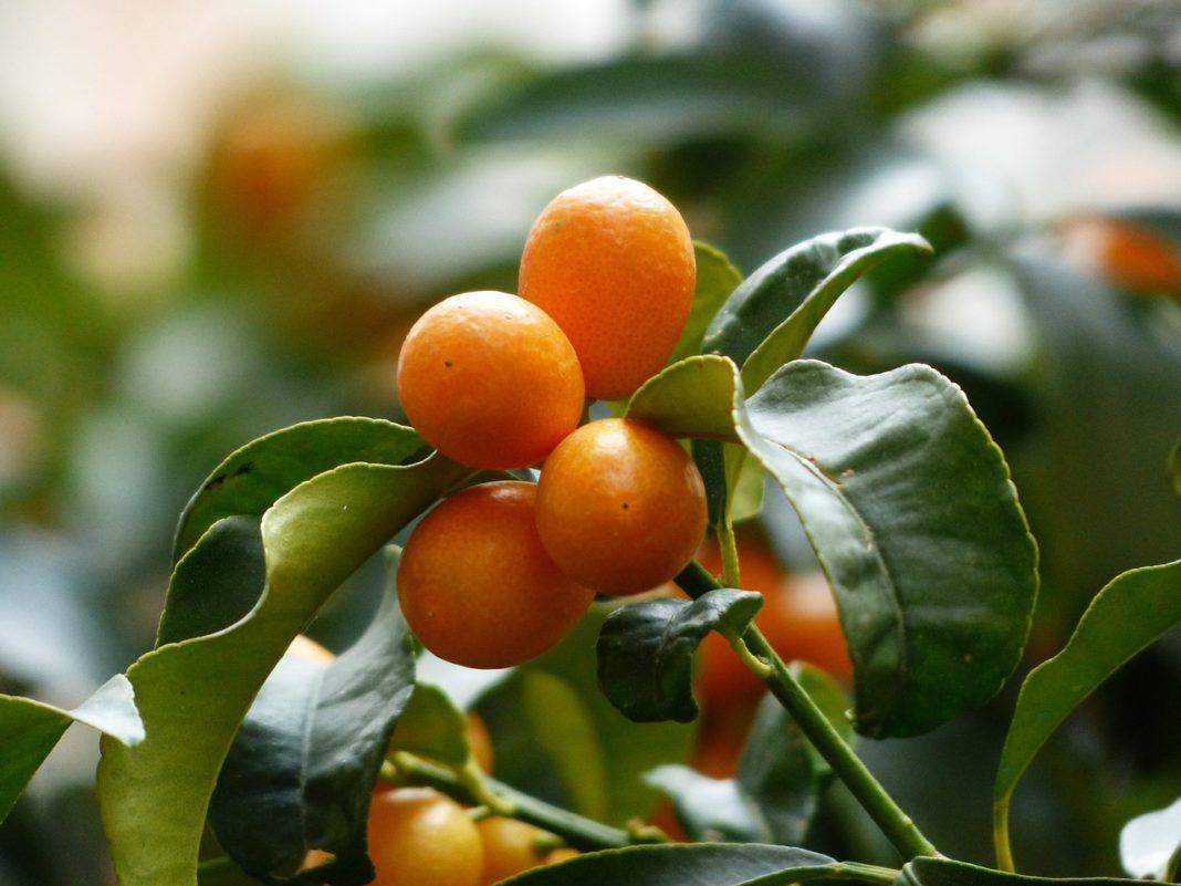 Kumquats 357894 1280 1068x801