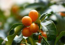 Kumquats 357894 1280 218x150